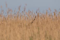 Rohrweihe mit Beute beim Nestanflug