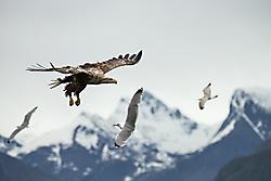Anflug Seeadler